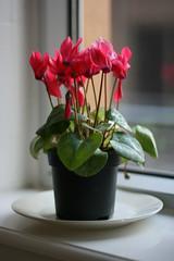 Everlasting flower (Igor Clark) Tags: pink flower everlasting