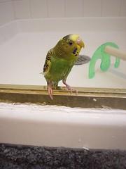 DSC03588 (PhotoPieces) Tags: bird budgie parakeet ilovebirds