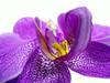 Purple (✿ Graça Vargas ✿) Tags: orchid flower macro art nature purple phalaenopsis explore orquidea lovely excellence orquídea 蘭花 interestingness45 i500 flowerotica graçavargas ラン орхидея duetos purplesatin sparklingpurple afffffflinda ©2007graçavargasallrightsreserved 332773100811