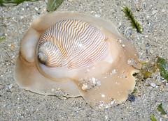 moon snail