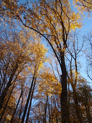 towering fall trees