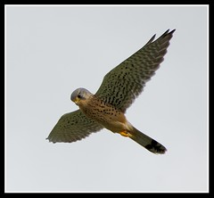 Hovering Kestrel..... (Levels Nature) Tags: uk england bird nature fly wings hunting wing somerset raptor prey kestrel birdofprey hovering hover chewvalleylake saariysqualitypictures carlsbirdclub