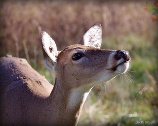 Whitetail Doe-Wildlife Prairie State Park-Hanna City, IL
