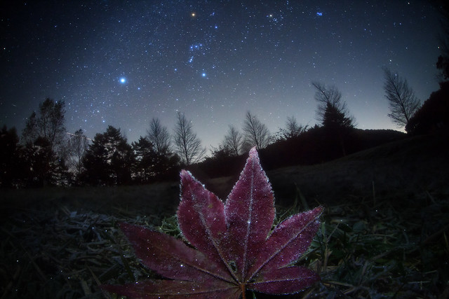 Frosted Leaf  Galaxy