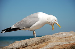 Seagull 3