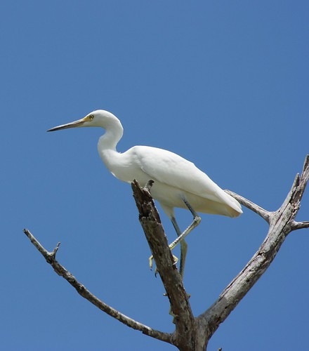 White Heron Tree