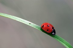 Bug, Lady-Bug... or Ladybird (wagoldby) Tags: red macro field grass sunshine canon walking bravo flickr dof magic insects bugs been website ladybird ladybug ive blade shiney added depth eos20d roadtonowhere naturesfinest itsabugslife flyawayhome goldby wagoldby warwickgoldby animalkingdomelite impressedbeauty takingawalkonthewildside diamondclassphotographer ishflickr macrophotosnolimits thanksfortheinvites ysplix thanksforthecomments magicofaworldinmacro pooponapieceofgrass magicaworldinmacro onedayiwaswalkingonabladeofgrasswhenwhooshbrightlightsandclickingnowiamimmortalizedforeveroratleasttillthiswebsitefallsdown yourhouseisonfireandyourchildrenarealone ladybirdladybirdflyawayhomeyourhouseisonfireandyourchildrenarealone