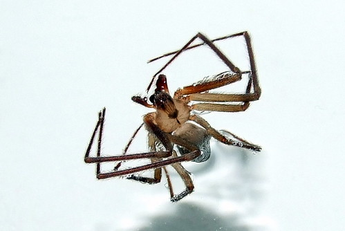 Brown Recluse II:  Baby Wants Revenge