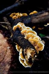 Ribbon Fungi