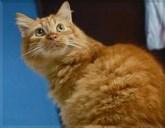 ren again (gigibiru_kukunings) Tags: kissablekat bestofcats