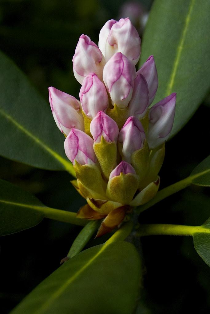 rhododendron ©2007 RosebudPenfold