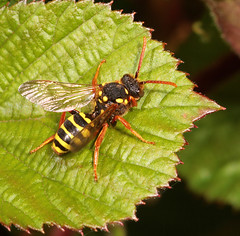 """Bee (Nomada goodeniana)(4) • <a style=""""font-size:0.8em;"""" href=""""http://www.flickr.com/photos/57024565@N00/857366745/"""" target=""""_blank"""">View on Flickr</a>"""