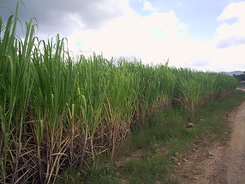Canya de sucre