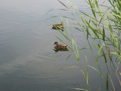 Ducks on fishing lake near Woodbridge