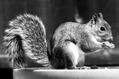 Peanut Thief (Matt_Daniels) Tags: bw greysquirrel d40x