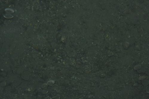 泥沙裡有許多肥美的蜊仔