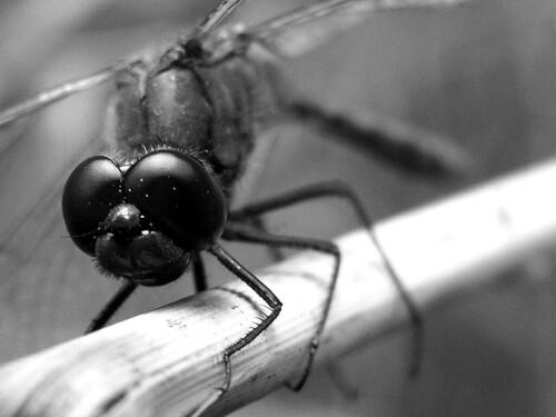 Ważka Dragonfly B&W