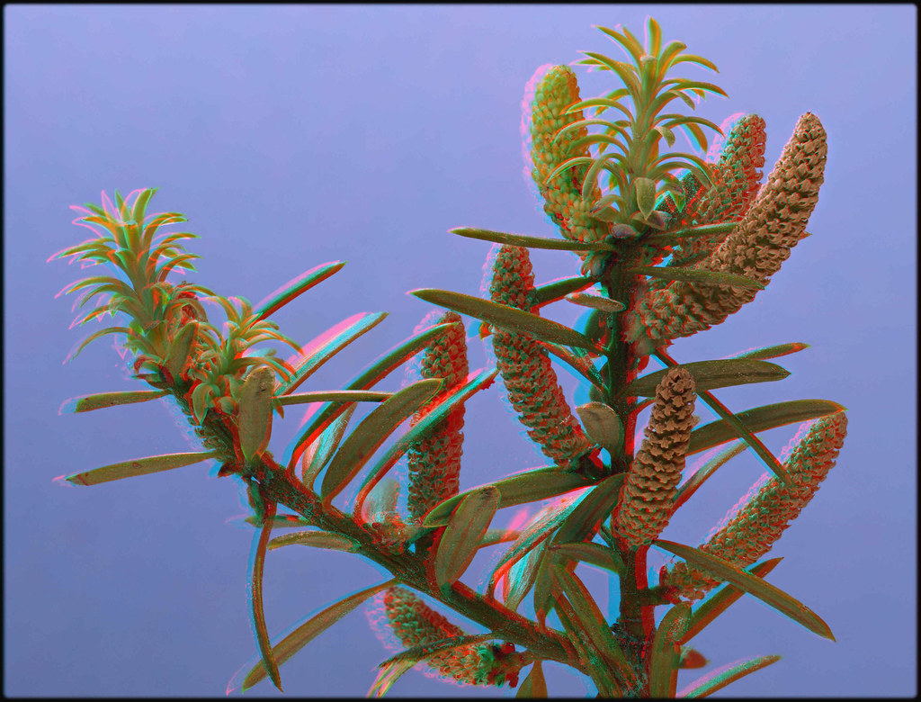 Totara Male Pollen Cones [Anaglyph stereo]