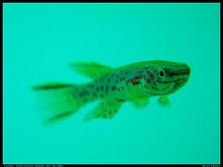 Killifish / Fundulopanchax gardneri lafia
