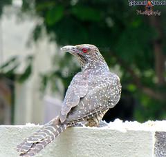 Koyal2 (Bhaumik Trivedi) Tags: india nature birds photography feather redeye gujarat ahmedabad trivedi bhaumik bhaumiktrivedi