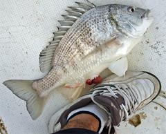 Adidas Fish (Suli_77) Tags: fish kuwait adidas q8 kwt    kowait suli77