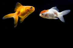 One Fish Said to the Other Fish... ([Christine]) Tags: new orange fish aquarium goldfish oranda rightplacerighttime naturesfinest blueribbonwinner animalkingdomelite abigfave anawesomeshot colorphotoaward impressedbeauty wowiekazowie explore06140774
