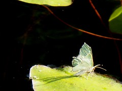Green butterfly, Thetis Lake, Victoria, July 2007
