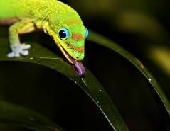 Leaf Lickin' Lizard (Bill Adams) Tags: hawaii explore bigisland soe animalplanet waikoloa myyard lickin canonef70200mmf28lisusm animalkingdomelite madagascardaygecko abigfave canon2xiiextenderautofocus