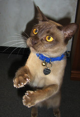 But I said PLEEESE! (thewebprincess) Tags: chocolate burmese chino bestofcats boc0807 chino1110624308rip