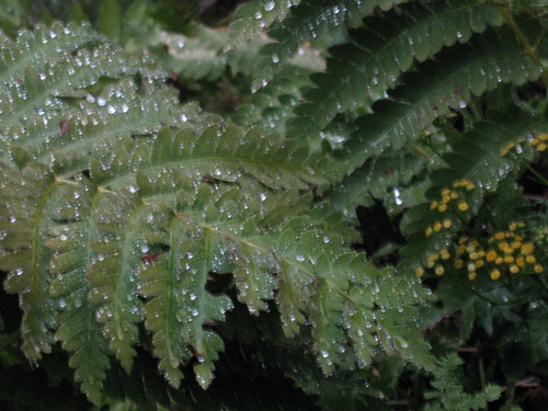 Fern after Rain