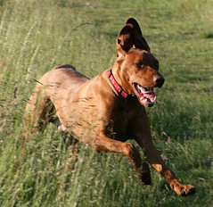 Woody the Vizsla really LOVES the open fields (Woody Worth) Tags: dog cute dogs animal puppy happy puppies woody vizsla running 100views fields 400views 300views 200views elaine worth 500views pup kev 800views 600views 700views 1000views hungarian viszla 900views whitwick impressedbeauty pfogold