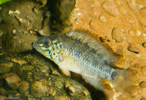 Apistogramma sp. 'Rotpunkt' Young Male