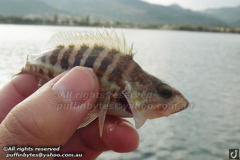 Comber - Serranus cabrilla