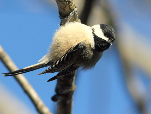 Black-capped Chickadee 20101104