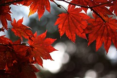 Autumn Backgrounds in Japan (jasohill) Tags: trip autumn red nature leaves japan landscape photography eos japanese photo october bokeh background iwate backgrounds    tohoku matsuo 2010 hachimantai  jasohill canonef100mmf28macro  mywinners superaplus aplusphoto fotocompetition fotocompetitionbronze