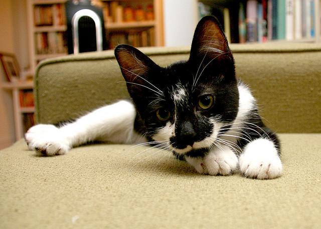 cute rescued tuxedo kitten