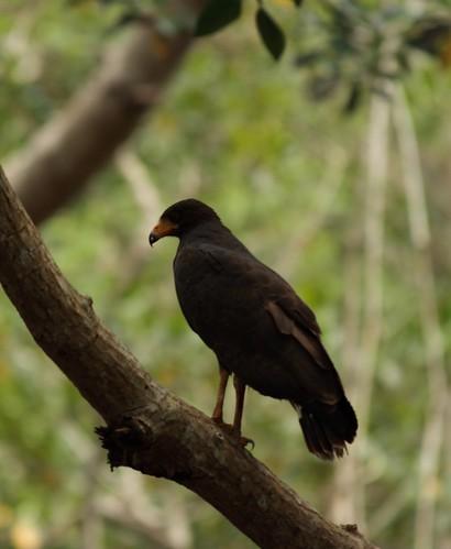 Mangle Hawk