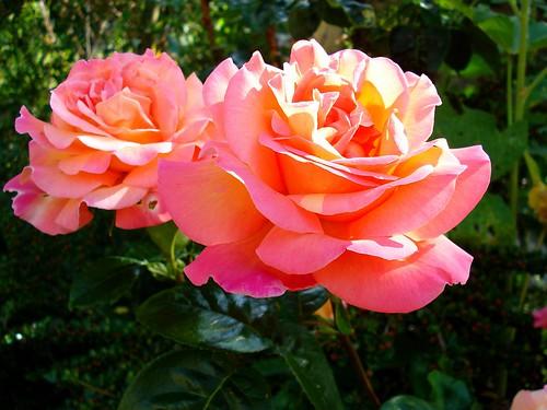 Pink Roses by net_efekt