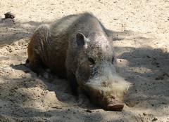 Bearded pig (jormungund) Tags: berlin nature animal animals germany zoo pig wildlife swine boar bearded zoos