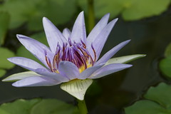 Nymphaea colorata 4019 (andreasgraemiger) Tags: flower macro nature closeup flora waterlily blume nahaufnahme seerose ef100mm botanischergartenzrich canonmacrolens impressedbeauty greatflowermacros colourartaward