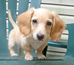 honey (Doxieone) Tags: dog cute english puppy long cream dachshund honey blonde haired pup1 mostpopular coll ggg longhaired honeydog englishcream honeyset