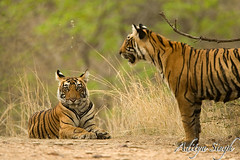 Tiger cubs in ranthambore 2 (dickysingh) Tags: wild india nature outdoor wildlife tiger bigcat aditya ranthambore singh tigercubs bengaltiger ranthambhore dicky wildtiger ranthambhorebagh adityasingh dickysingh ranthamborebagh theranthambhorebagh