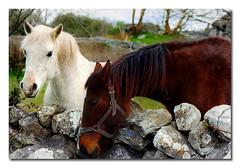 kinvara (.finding.ireland.) Tags: county 2002 ireland horses castle galway 35mmfilm april celtic easy etsy interest kinvara naturesfinest dunguaire findingireland colorphotoaward contaenagaillimhe isawyoufirst enviousflickrfotos ainmhithe pinterest pinterst