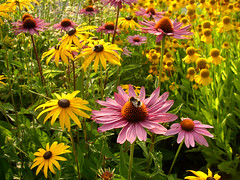 Mix of flowers (Per Ola Wiberg ~ Powi) Tags: flowers fleurs insect niceshot echinacea sweden harmony sverige rudbeckia blommor 2007 augusti musictomyeyes naturesfinest bourdon awesomeshot heleniumautumnale mostintresting eker topshots ekebyhovsparken languageofflowers ekebyhov natureplus mywinners solbrud worldbest peaceaward flickrhearts firsttheearth flowersarebeautiful heartawards flickrsun flickrblooms rdsolhatt betterthangood flowersandgarden excellentflowers excellentsflowers crazyaboutnature worldofflowers funfanphotos highqualityimage ilovemypics natureselegantshots landscapesofvillagesandfields wonderfulworldofflowers mimamorflowers theloveshack abovealltherest awesomeblossoms flickrflorescloseupmacros panoramafotogrfico photographerparadise naturescreations theflowerbasket thebestofmimamorsgroups crazyaboutnatureawards universeofnature flowersonflickr fabulousplanet naturesgreenpeaceaward weloveallflowers thenaturessoul allthebeautiesofnature themagicofthenature chariotsofartists beautifulflowersgroup level1photographyforrecreation level2photographyforrecreationsilver brigettesbeautifulnaturegallery lovelyflowersgroup naturespoetry~~ thenewringofexcellence naturespoetry~