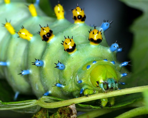 Cecropia Moth Caterpillar Beautiful Pictures and Wallpaper