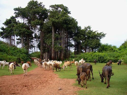 Le Paradis des Vaches