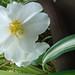 12 begonia