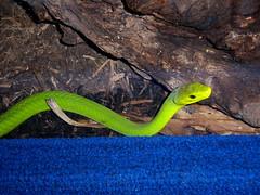 Catoctin Zoo - Green Mamba (fkalltheway) Tags: snake mamba greenmamba catoctinzoo fkalltheway