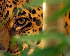 Eye On You (dfg photography) Tags: winter cats scotland edinburgh jaguar bigcats captivity carnivores naturelovers edinburghzoo animalsincaptivity digitalcameraclub carbonfootprint captiveanimals onlythebestare january2009 itsazoooutthere qualitypixels flickrbigcats tinathejaguar thealphabetchallenge jisforjaguar