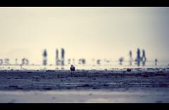 Procession floue (sparth) Tags: ocean seattle city bird beach walking washington seagull silhouettes 300mm telephoto oceancity distance 2x 300mm28l 600mm